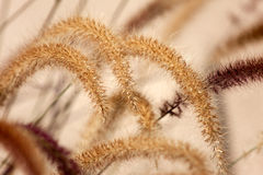 Pennisetum: dekorative Grasfedern/-blumen lizenzfreies stockfoto