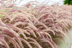 Pennisetum fence for background use. Grass flower for background use Stock Images