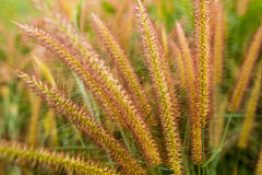 Pennisetum flower background Royalty Free Stock Images
