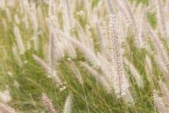 Pennisetum flower in the garden Stock Image