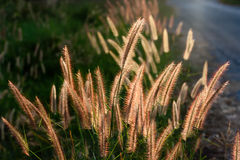 Pennisetum flower. In late afternoon sunlight Royalty Free Stock Photos