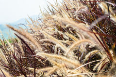 Pennisetum flower with red leaves and mountain in background. Pennisetum flower straw-color with red leaves and mountain in background stock photos