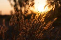 Pennisetum flower in sunset Royalty Free Stock Photo