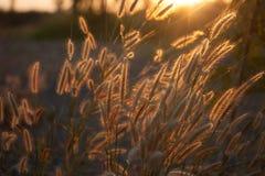Pennisetum flower in sunset Stock Image