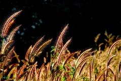 Pennisetum flower. In warm sunset stock image