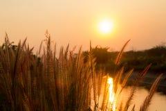 Pennisetum flower in warm sunset Stock Photography