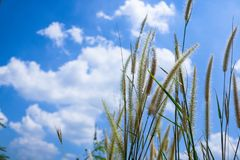 Pennisetum flowers with blue skies at sunny day. Foxtail or Fountain grass they are annual or perennial grasses. Ornamental grass in garden royalty free stock photography