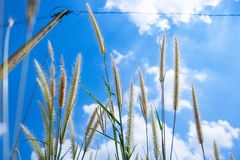 Pennisetum flowers with blue skies at sunny day. Foxtail or Fountain grass they are annual or perennial grasses. Ornamental grass in garden stock photo