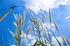 Pennisetum flowers with blue skies at sunny day. Foxtail or Fountain grass they are annual or perennial grasses. Ornamental grass in garden royalty free stock images