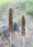 Pennisetum glaucum (pearl millet) Stock Image