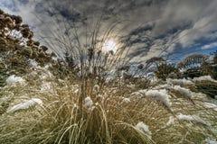 Pennisetum nel giardino coperto di neve fotografia stock