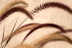 Pennisetum: ornamental grass plumes / flowers Royalty Free Stock Photos