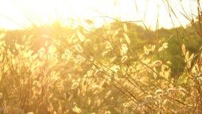 Pennisetum pedicellarum Unkraut-Betriebsblume im Wind stock footage