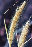 Pennisetum pedicellatum. Is a grass one type. The grass species are important food sources for livestock stock photography