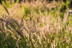 Pennisetum pedicellatum Trin is classified as native weeds. That is prevalent in almost all sectors. Pennisetum pedicellatum Trin is classified as native weeds Royalty Free Stock Photo