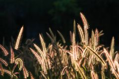 Pennisetum pedicellatum Trin classified as exotic weeds have spread in almost every sector. Pennisetum pedicellatum Trin is classified as native weeds that are Stock Images