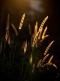 Pennisetum pedicellatum Trin Royalty Free Stock Photos