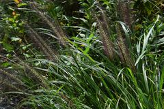 Pennisetum. Is a weed that brush-like flowers bloom in autumn and often seen on the roadside stock images