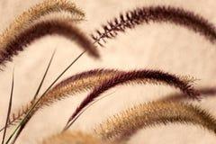 Pennisetum : plumes/fleurs ornementales d'herbe Photos libres de droits