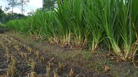 Pennisetum purpureum is a large, highly nutritious grass that is usually used as feed. Other variant called Odot in Indonesia stock image