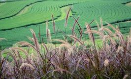 Pennisetum Rubrum-purpurrotes Brunnen-Gras auf dem Teeplantagenhintergrund in Singha-Park lizenzfreie stockfotos