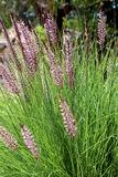 Pennisetum setaceum, ein beständiges Bündelgras Lizenzfreie Stockfotografie