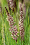 Pennisetum setaceum, a perennial bunch grass Stock Photography