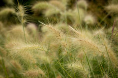 Pennisetum Villosum - Feathertop. This beautiful grass is a species of grass known by the common name feathertop grass Stock Photos