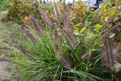 Pennisetum. Is a weed that brush-like flowers bloom in autumn and often seen on the roadside stock photography