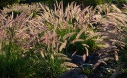 Pennisetum wild plants Royalty Free Stock Image