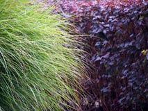 Pennisetumalopecuroides och Physocarpus opulifoliusDiabolo Arkivfoto