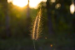 Pennisetumpolystachyonblommorna är bak solnedgångljuset Royaltyfri Foto