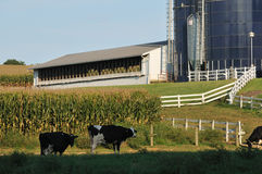 Pennsylvania farm with dairy cows Royalty Free Stock Photos