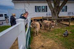 Pennsylvania USA, APRIL, 18, 2018: Utomhus- sikt av oidentifierat folk som ser lantgårddjur, twodonkeys, hönan och kalkon Arkivbild