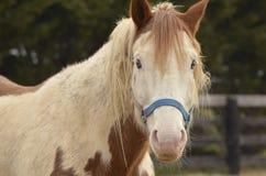 Pennsylwania koń Zdjęcia Royalty Free