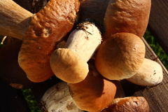 Penny bun - boletus edulis Royalty Free Stock Photo