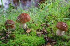 Penny bun Boletus mushrooms royalty free stock photos