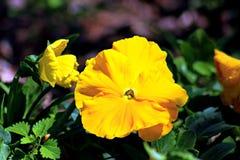 Penny Clear Yellow Viola é uma maravilha Fotografia de Stock