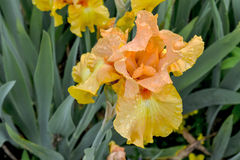 Penny Lane Iris Royaltyfri Foto