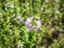 Pennyroyal  Mentha pulegium mountain mint. Closeup of medicinal plant on a blurred background stock photography