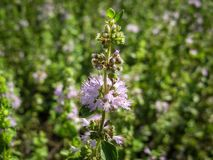 Pennyroyal  Mentha pulegium wild mint. Closeup of medicinal plant on a blurred background royalty free stock photos