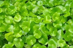 Pennywort Royalty Free Stock Photos