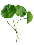 Pennywort Royalty Free Stock Photo