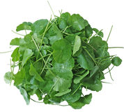Pennywort Royalty Free Stock Image