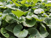 Pennywort Photo stock