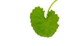 Pennywort asiático (Centella asiatica) imagem de stock royalty free