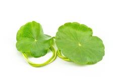 Pennywort asiático verde (Centella asiatica) en el fondo blanco Imagen de archivo libre de regalías