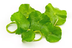 Pennywort asiático verde (Centella asiatica) en el fondo blanco Imágenes de archivo libres de regalías