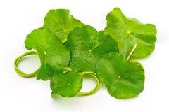 Pennywort asiático verde (Centella asiatica) no fundo branco Imagens de Stock Royalty Free