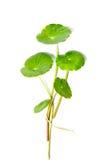 Pennywort asiatique photographie stock